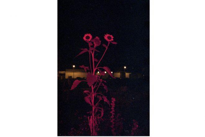 «Le Havre, jardin partagé, place Danton, prairie tournesol», Anne-Lise Seusse, 2017